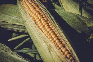 Jakie narzędzia są potrzebne do uprawy kukurydzy?
